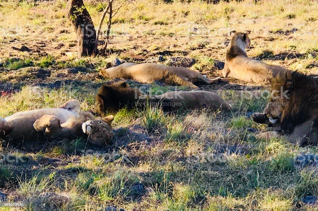 Lion Party zbiór zdjęć royalty-free