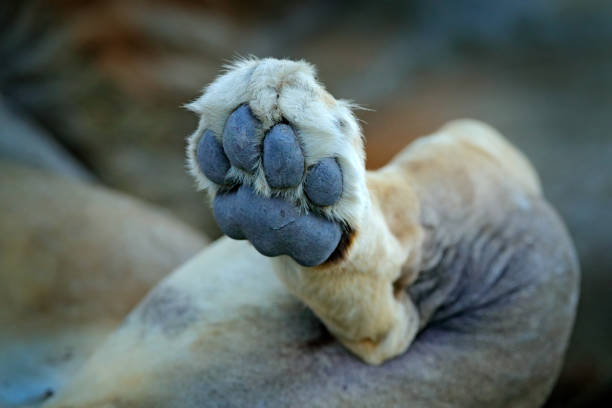 Lion paw. Detail leg foot of African lions, Panthera leo, detail of big animals, Okavango delta, Botswana, Africa. Cats in nature habitat. Lion in the forest habitat. stock photo