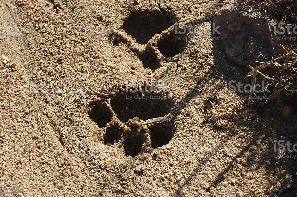 Lion paw prints in sand stock photo