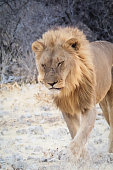 A male of Lion in Etosha National Park - Namibia