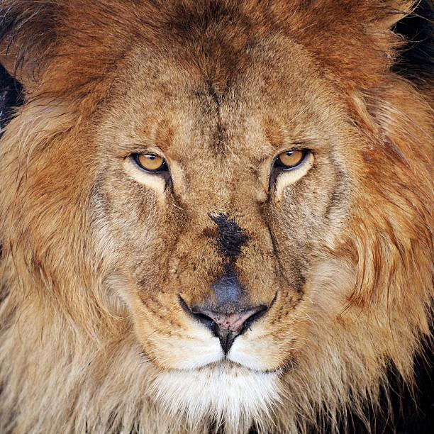 Lion – Foto