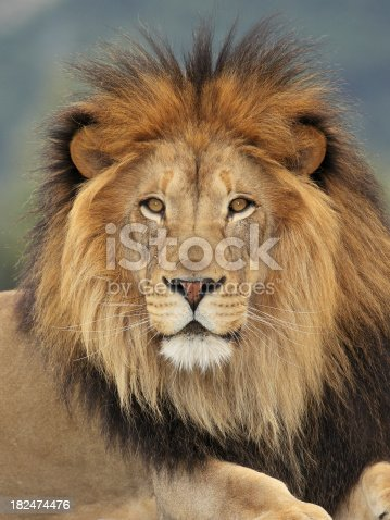 Portrait of a Lion.