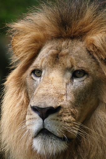 Lion Stock Photo - Download Image Now