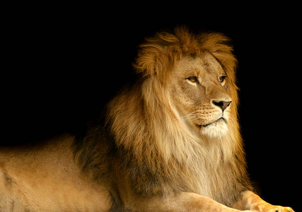 410 Lion Black Background Stock Photos Pictures Royalty Free Images Istock
