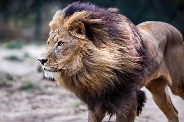 Lion picture id522963689?b=1&k=6&m=522963689&s=612x612&w=0&h=3ctdvez4kaaiwfhgulcjdrmps24bjc1xtdpf7xvvcby=