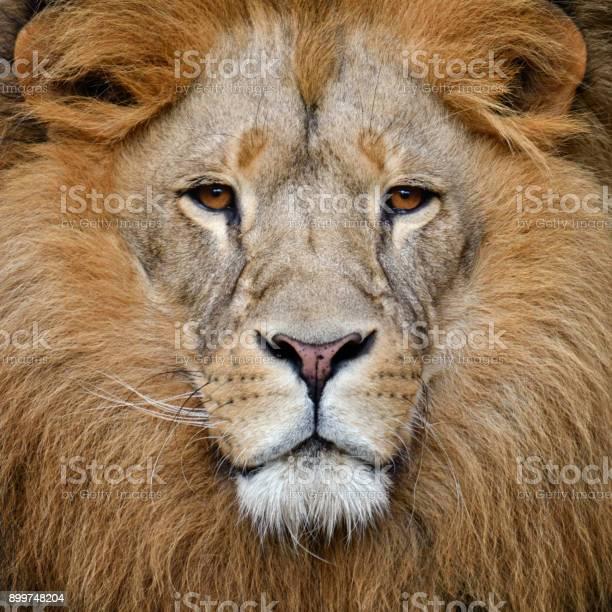 Lion picture id899748204?b=1&k=6&m=899748204&s=612x612&h=3wwmt2gfodvpadpgnjwdvyo2laen48i kisouiu9fyi=