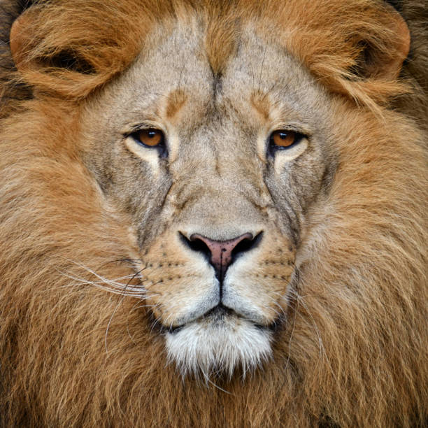 lion close-up of a male lion Leo stock pictures, royalty-free photos & images
