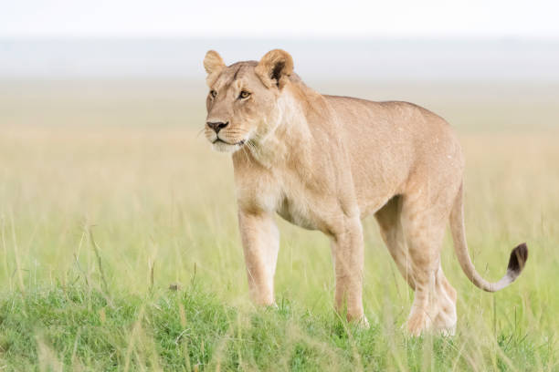 lion (panthera leo) - lioness stock photos and pictures