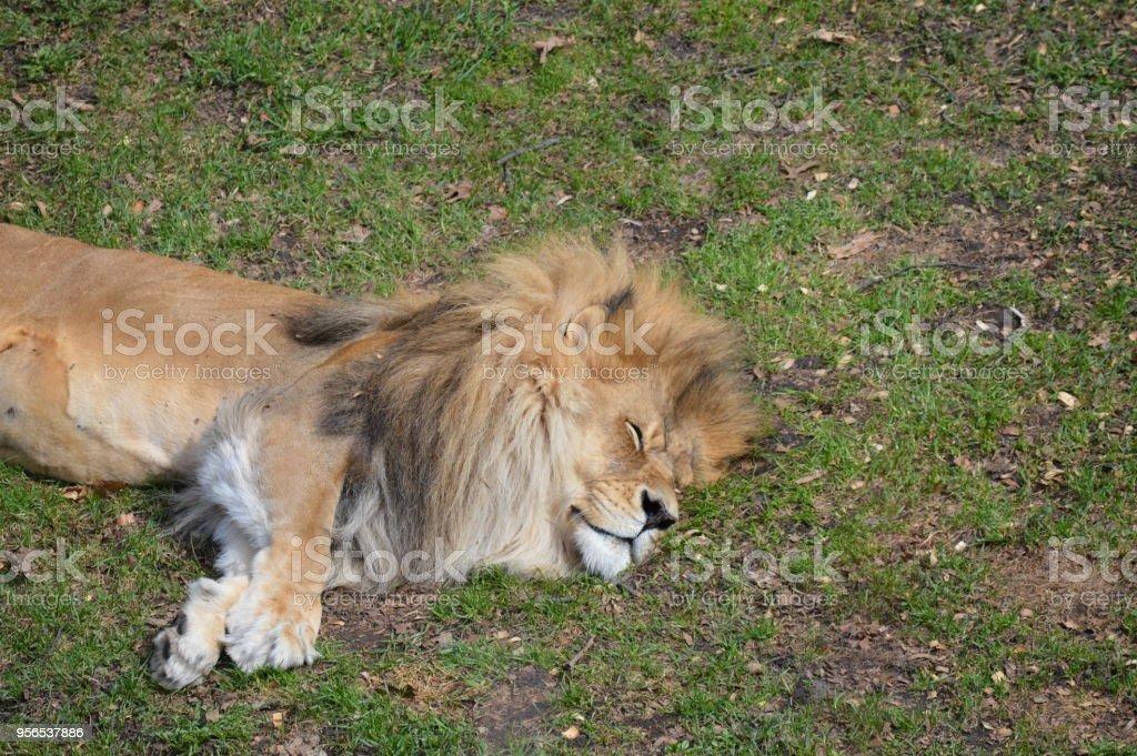 Lion - Lizenzfrei Fotografie Stock-Foto
