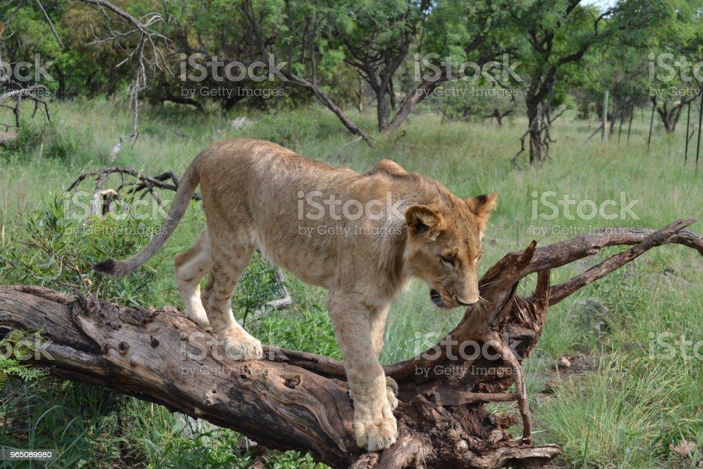 Lion zbiór zdjęć royalty-free