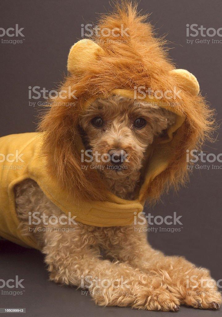 Lion Poodle Posing stock photo