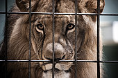 Lion Portrait Behind The Bars