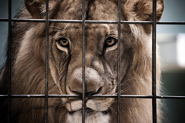 lion portrait behind the bars - animals in captivity stock pictures, royalty-free photos & images