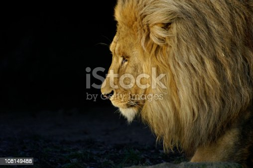 Lion king in the evening sun