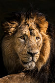 Portrait of lion staring intently into the distance in the late afternoon. Its cold, steady gaze inspires the fear and the respect.