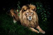 Portrait of resting lion