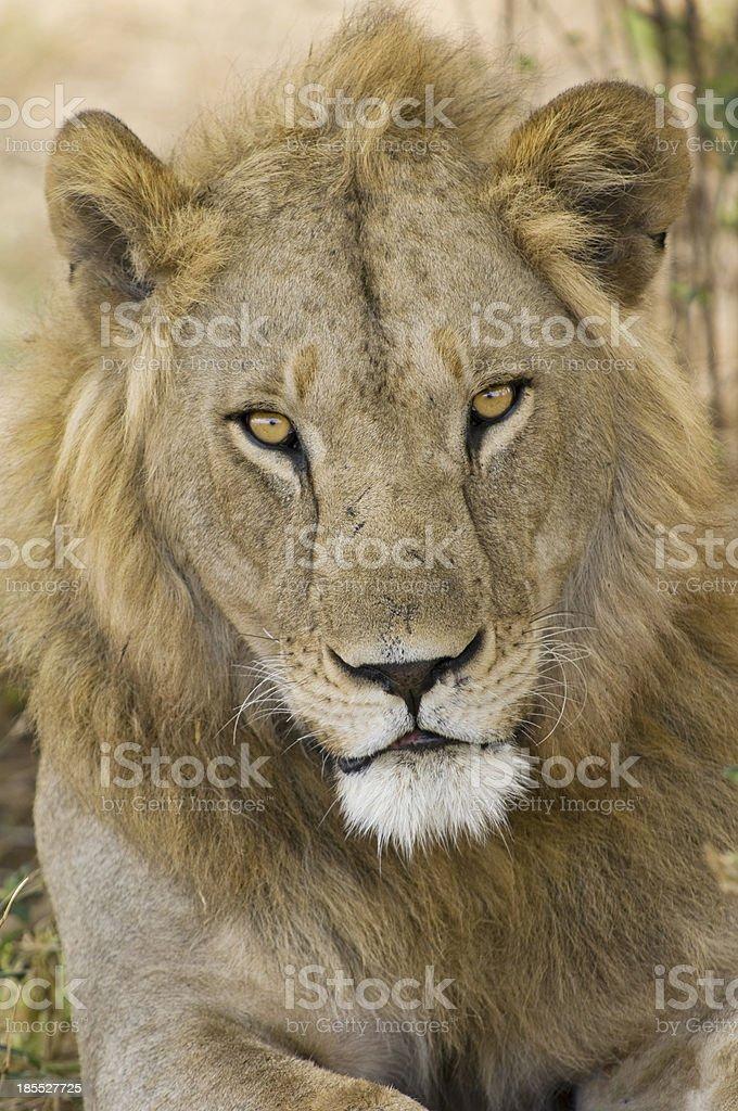 Lion portrait royalty-free stock photo