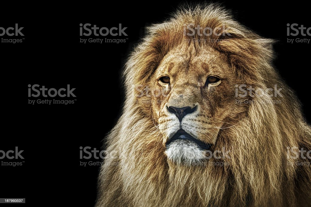 Lion portrait with rich mane on black stock photo