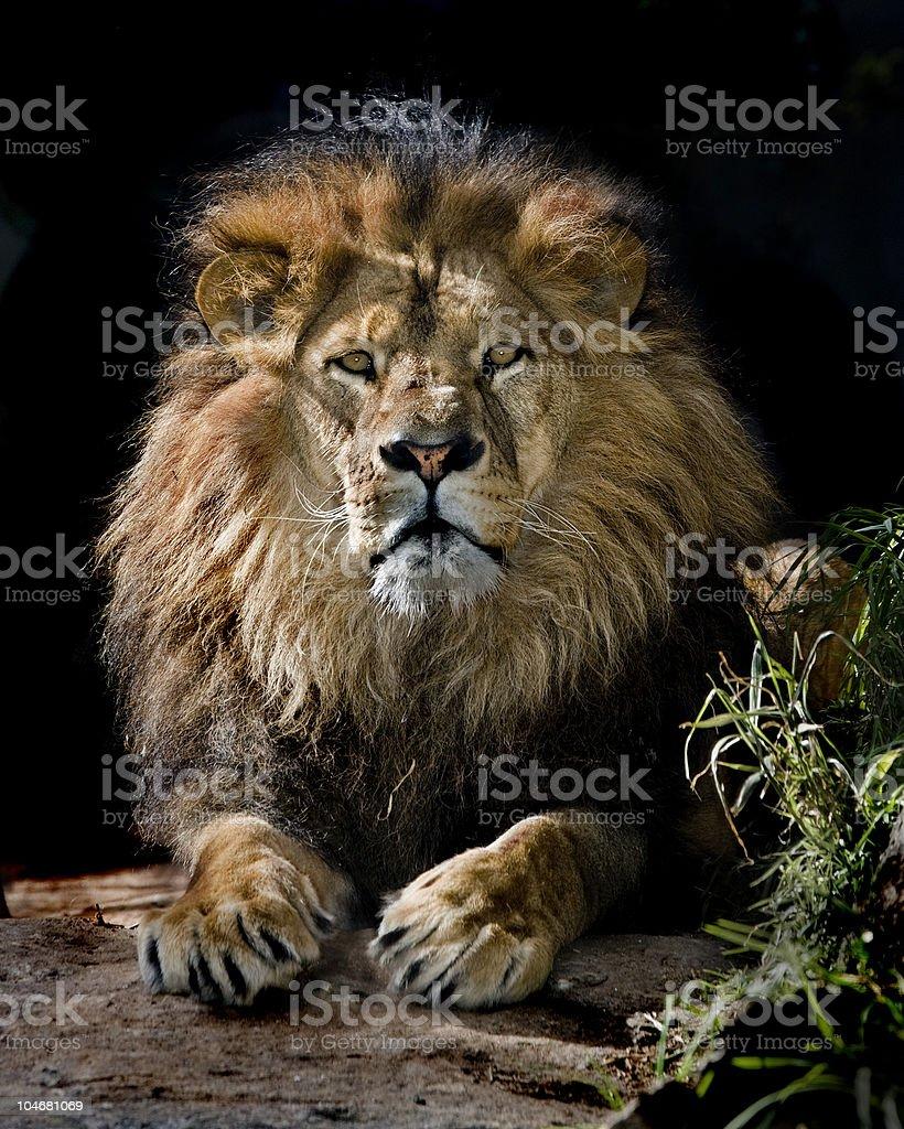 lion pose stock photo