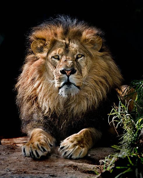 lion pose stok fotoğrafı