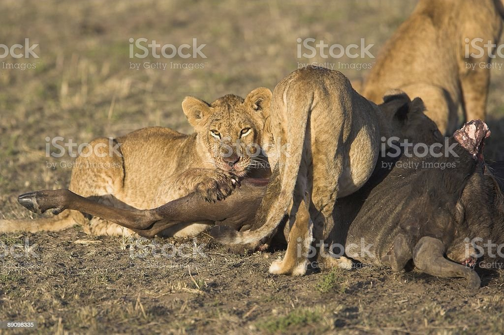 Lion pride at a kill royalty-free stock photo