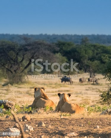A lion pride gradually moves from the Koinachas waterhole just after dawn, Namutoni, Etosha National Park, Namibia