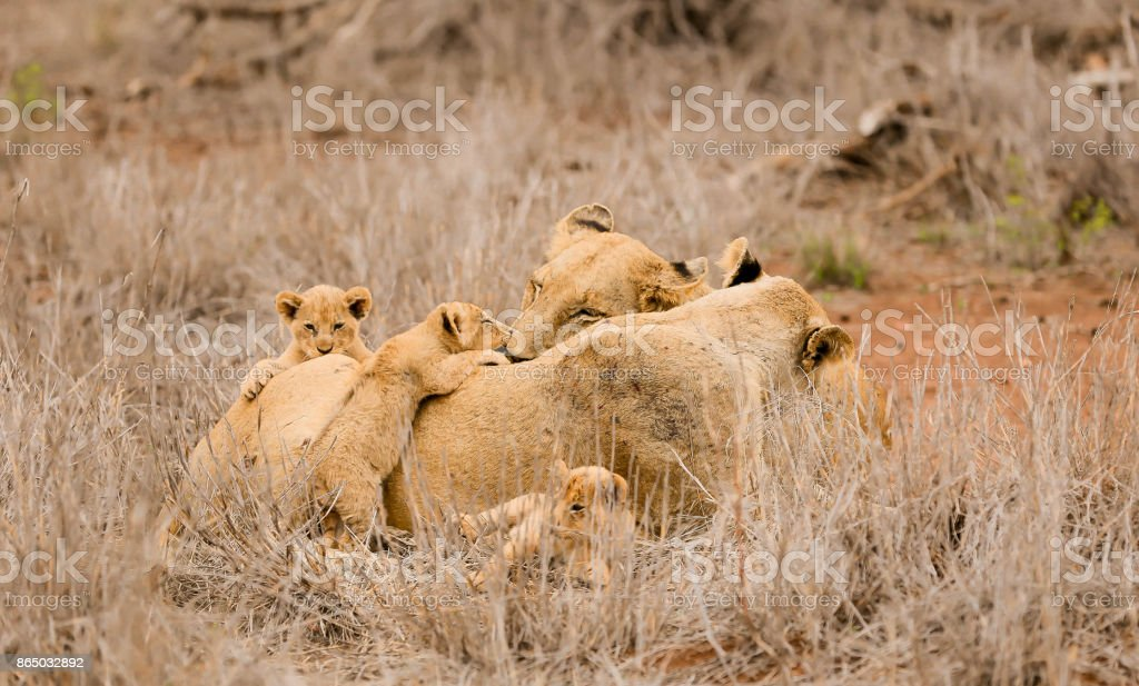 Lion Pride on a South African Safari stock photo