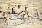 A Lion pride on the Etosha Pan, Namibia.