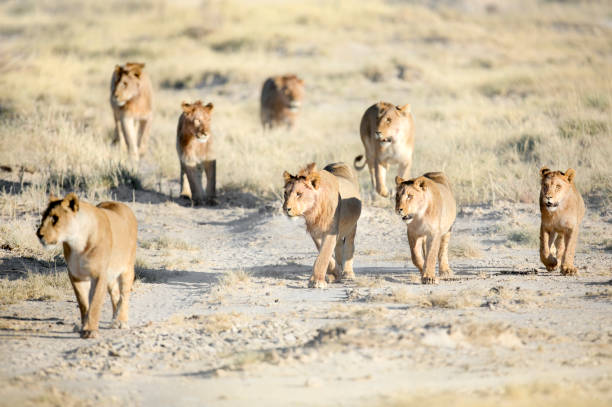 A Lion pride on the Etosha Pan, Namibia. A Lion pride on the Etosha Pan, Namibia. namib desert stock pictures, royalty-free photos & images