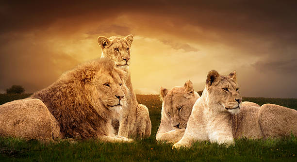 lion pride - big cat stock pictures, royalty-free photos & images