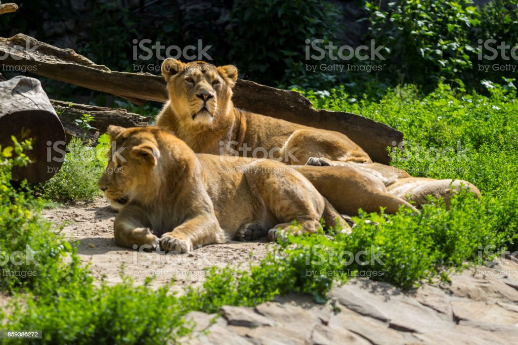 lion pride rests after hunting stock photo