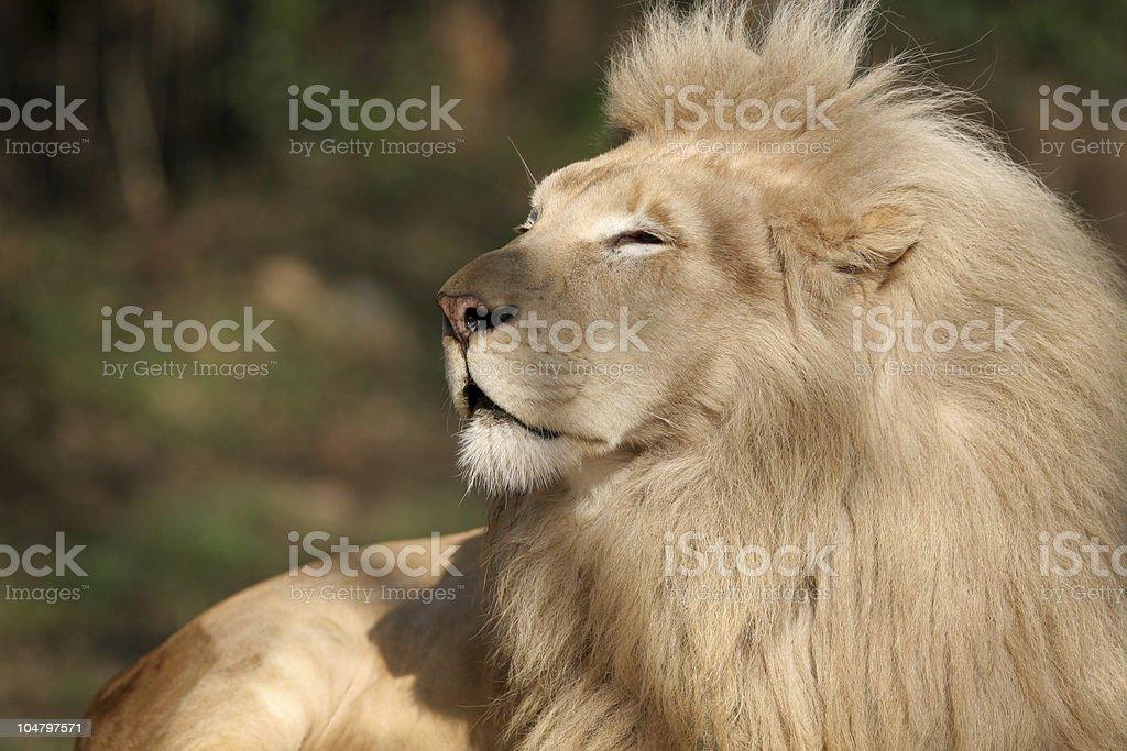 Lion profile royalty-free stock photo