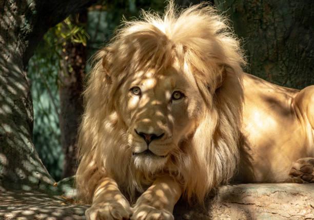 lion profile stock photo