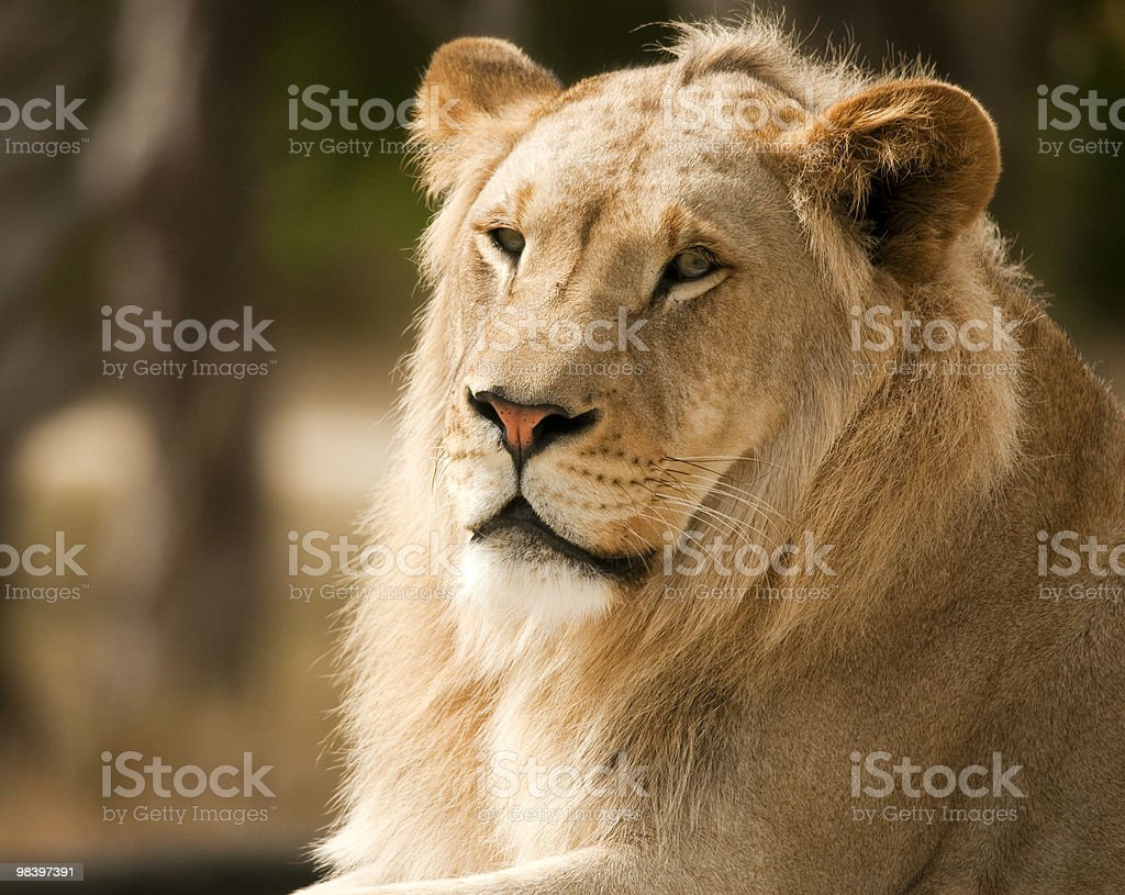 Lion Profile royalty-free stock photo