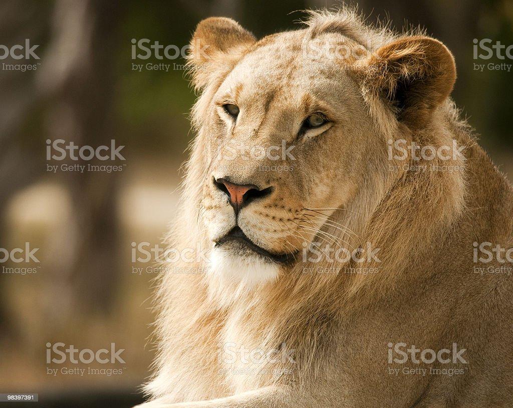 Profilo di un leone foto stock royalty-free