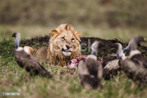 Angry lion protecting his pray from hungry vultures.