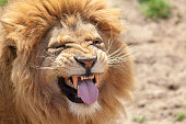 istock Lion pulling a funnny face. Animal tongue and canine teeth. 810272740