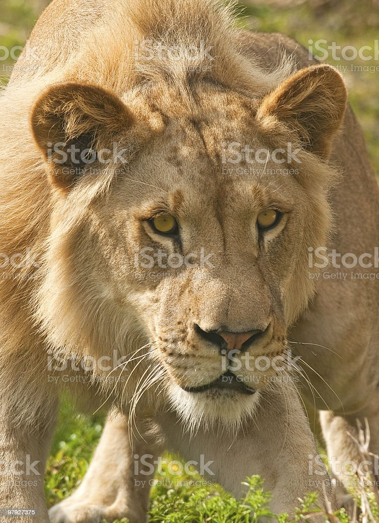Lion Ready to Attack royalty-free stock photo
