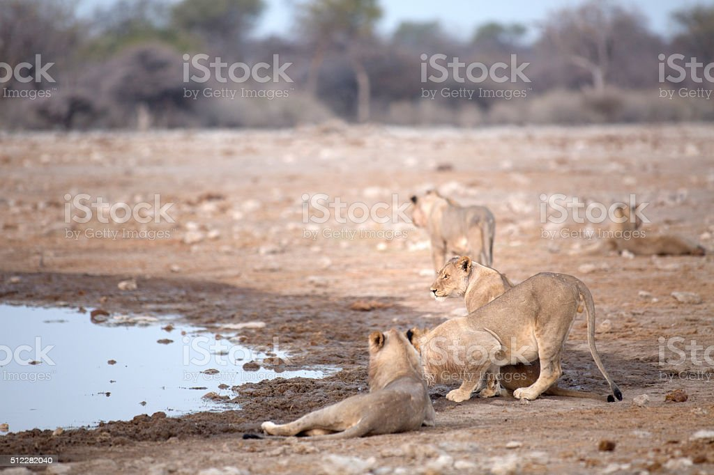 Lion relaxing at a water hole stock photo