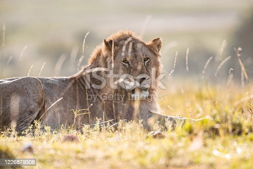istock Lion relaxing in grass. 1226879308