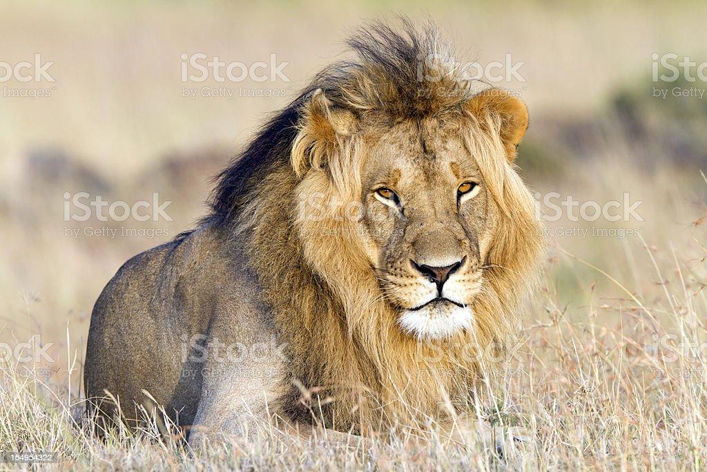 Lion resting, Masai Mara, Kenya stock photo