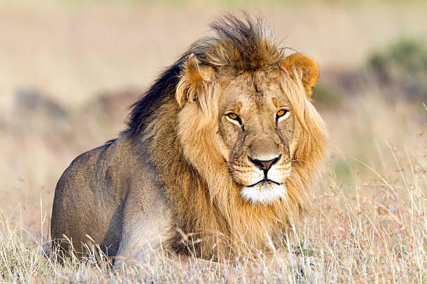 Lion resting, Masai Mara, Kenya  male animal stock pictures, royalty-free photos & images