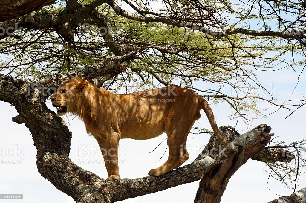 Lion resting on the tree royalty-free stock photo