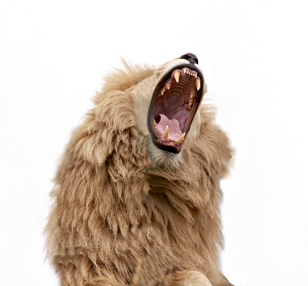 Lion Roaring and Bearing Teeth stock photo