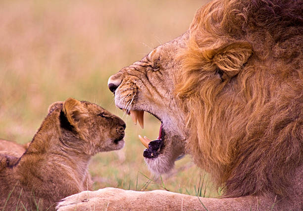 Lion roaring at young cub stock photo