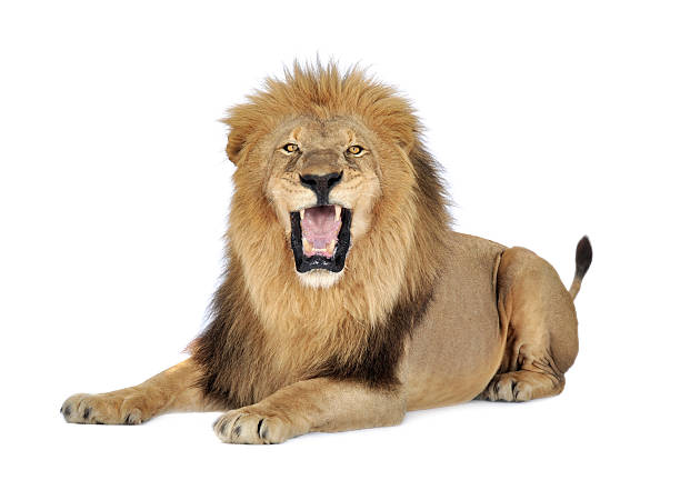 a lion roaring on a white background - lion stock photos and pictures