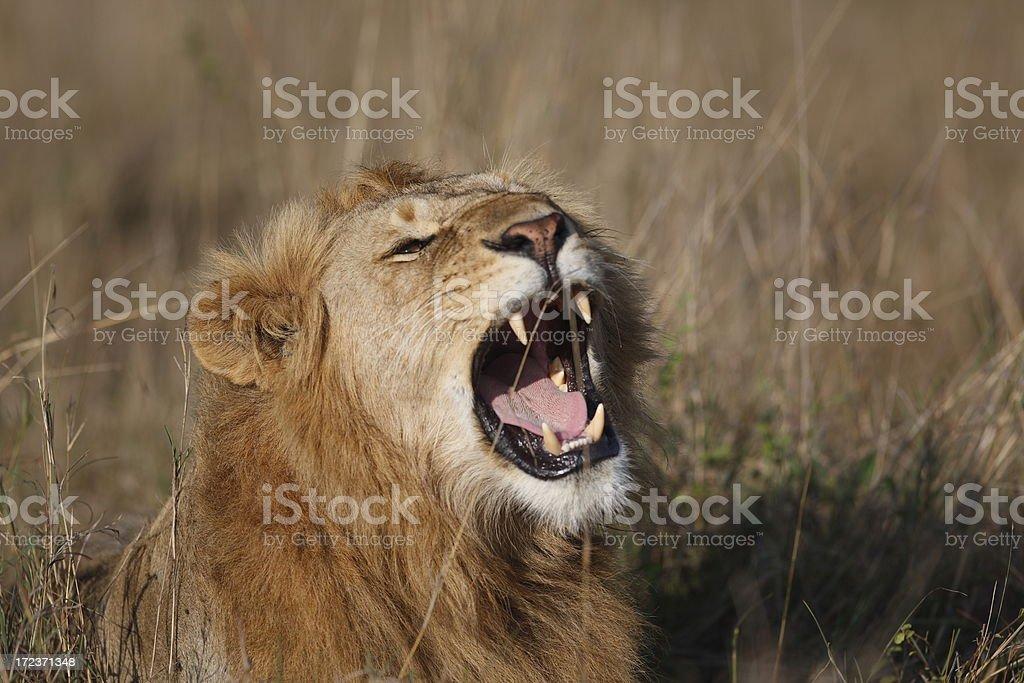 Lion roaring stock photo