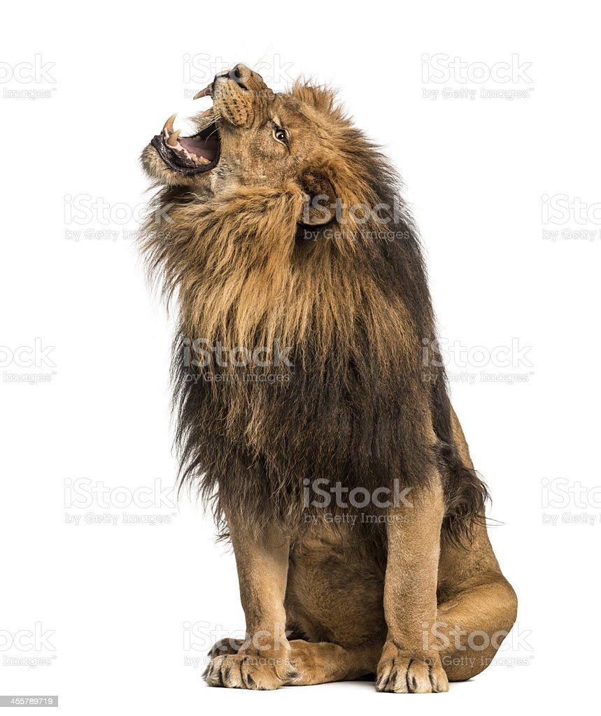 Salon Lion rugissant, Panthera Leo, 10 ans, isolé - Photo