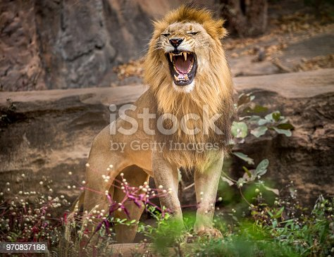 Lion roaring, standing amidst the natural environment of the forest.