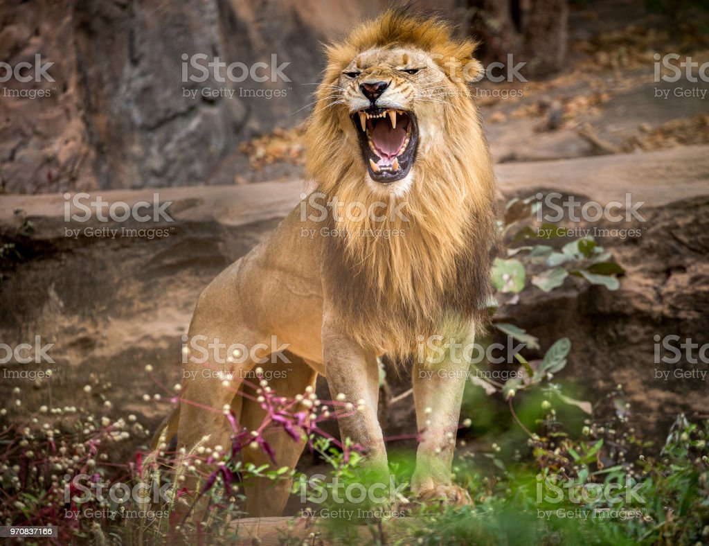 Lion roaring, standing amidst the natural environment of the forest. stock photo